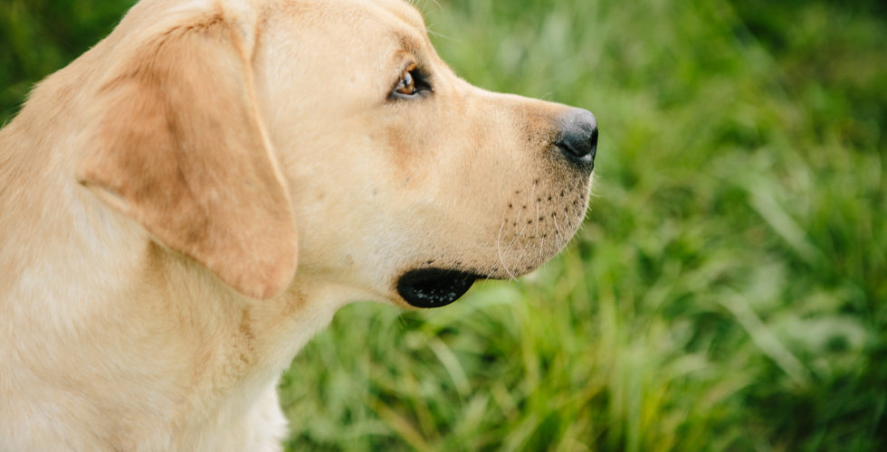 Ivy - Yellow Labrador Retriever